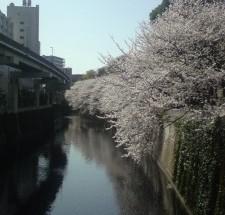 江戸川公園の桜もほぼ満開!!春だねぇ!