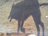 忠犬「パル」はやっぱり狼だった。